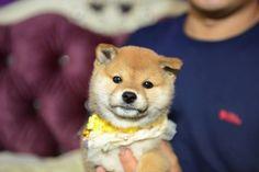cutest! #shiba #puppy