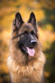 Zeiss in the Fall by Kristin Castenschiold on 500px, German Shepherd