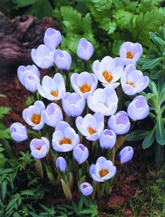 Crocus Species Crocus 'Blue Pearl'