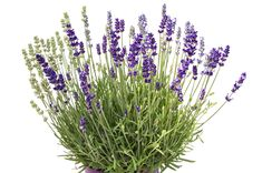 Ideal choice for garden borders, with an abundance of fragrant flowers. Grey-green to silver- green foliage. Cut Out Photoshop, Grass Photoshop, Architectural Plants, Rendering Art, Colored Pencil Techniques, Lavandula Angustifolia, Watercolor Trees, Garden Borders, Trees To Plant
