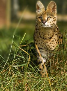 Serval - Taken at the WHF in Kent.