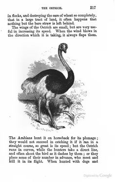 ostrich sketch