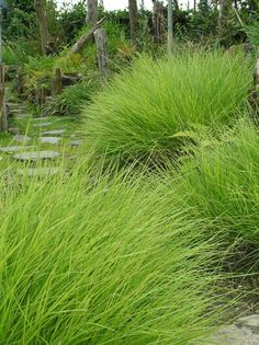 Sesleria autumnalis - Mass under trees or in full sun as a ground cover. Best planted in large sweeps in informal areas rather than borders. #heavenisagarden