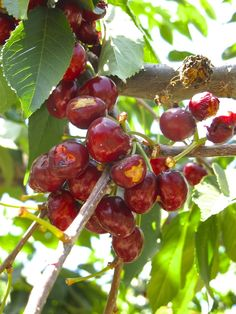 Leona Valley Cherries - get 'em before their gone!