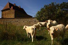 Festival du bœuf charolais : week-end goûteux, tendre et persillé - DijonBeaune.fr