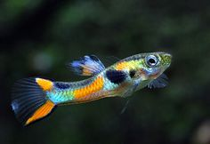Discover the top 10 most colorful freshwater fish as well some of the most beautiful fish for freshwater fish tank aquariums. Find out which freshwater fish is best for your fish tank. Also, discover the top 10 most beautiful freshwater fish. Tropical Fish Tanks, Tropical Aquarium, Cool Fish Tanks, Nano Aquarium, Aquarium Design, Saltwater Aquarium, Guppy, Aquascaping, Aquariums