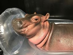 """1,431 Likes, 29 Comments - Cincinnati Zoo (@cincinnatizoo) on Instagram: """"Baby hippo Fiona likes to relax on her inflatable pool float.  Hippos don't actually float or swim.…"""""""
