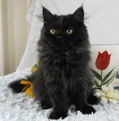 fluffy black cats - Himalayan
