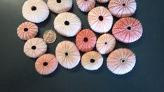 Pink Sea Urchin 1 to 2 inches 1 pcs Pink Sea by MacDriftwood, $0.49