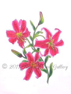 Stargazer Lily  Original Drawing in Pen and by LauraWilsonGallery