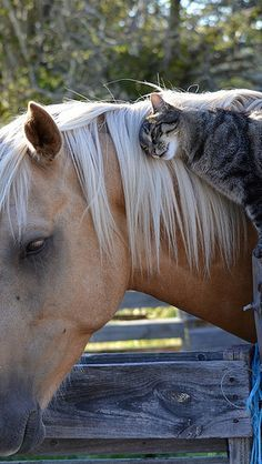 Cats and horses often become the best of friends . Here's the proof Animals And Pets, Funny Animals, Cute Animals, Horses And Dogs, Beautiful Horses, Animals Beautiful, Beautiful Cats, Unlikely Friends, Tier Fotos