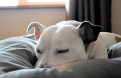 Nap time for our adopted Staffy! Rescue Dogs, Poppies, Labrador Retriever, Cute Animals, Photos, Labrador Retrievers, Pretty Animals, Pictures, Cutest Animals