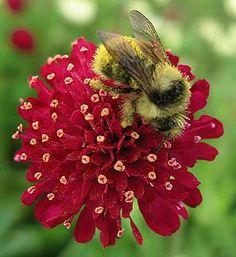 Knautia macedonia- for secret garden