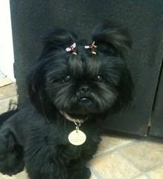 """Click visit site and Check out Cool """"Shih Tzu"""" T-shirts. This website is outstanding. Tip: You can search """"your name"""" or """"your favorite shirts"""" at search bar on the top."""