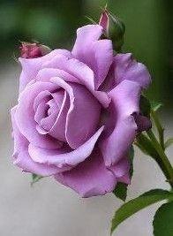 Una linda rosa en color morado. Stel♥