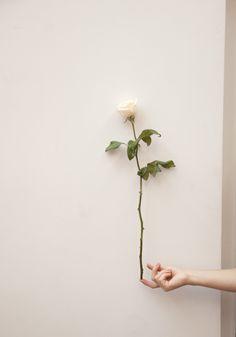 a single rose White Roses, Pink Roses, Flower Power, Fitz Huxley, Foto Macro, Flower Aesthetic, Spring Aesthetic, Single Rose, Minimalist Photography