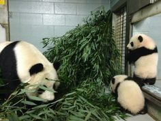 What are y'all getting into now? Photo by Jen Webb.  #ZAPandaCubs