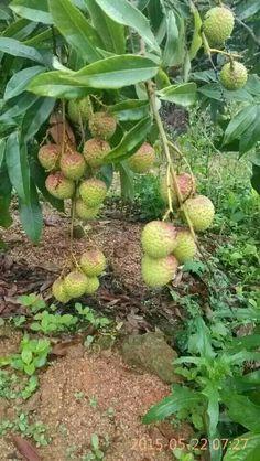 Litchi Chinensis Litchi Fruit, Plants, Plant, Planets
