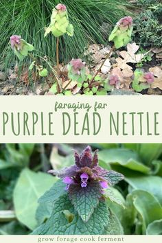 """Purple dead nettle is an easy to forage edible and medicinal plant that is most likely growing in your backyard or somewhere nearby! You've probably seen this """"weed"""" and didn't even know that it has edible and medicinal uses. Medicinal Weeds, Edible Wild Plants, Flora, Spring Plants, Wild Edibles, Gardening, Healing Herbs, Herbal Medicine, Natural Medicine"""