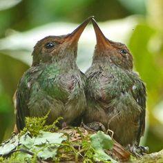 Crop of Baby Hummingbirds in Geckoes Garden, Costa Rica  www.villascostarica.com