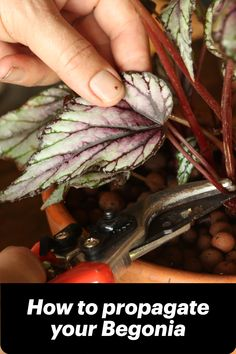 Have you ever wondered if it's possible to try propagating you Begonia rex (painted-leaf begonia)? Well, if you have a lush and healthy plant that can spare a leaf or two, try these two interesting ways where the veins of a single leaf can soon result in new rooted plantlets. #paintedleafbegonia #propagating #begonia #makemoreplants #howto #gardening #indoorplants #houseplants Painted Leaves, Begonia, Propagation, Houseplants, Indoor Plants, Lush, Roots, Vegetables, Healthy