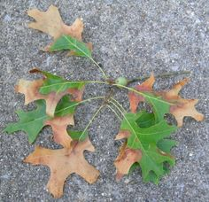 Bacterial Leaf Scorch Can Torch Landscape Trees Garden Solutions, Kentucky, Sick, Plant Pathology, The Cure, Plant Leaves, Landscapes, Stress, Backyard