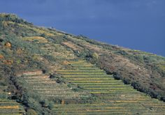 Steep terraced vineyards in Kamptal allow for good drainage to stress the vines. Amazing Rieslings and Gruner Veltliners
