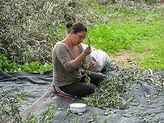 η Τατιάνα μαζεύει ελιές Eos