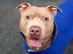 Manhattan Center   My name is THOR. My Animal ID # is A0997115. I am a male brown pit bull mix. The shelter thinks I am about 1 YEAR 6 MONTHS old.  I came in the shelter as a STRAY on 04/19/2014 from NY 10458, owner surrender reason stated was STRAY.  Killed