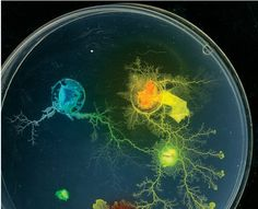 Intelligent Life: Slime mold grows toward patches of food with the efficiency of a network engineer. Courtesy Andrew Adamatzky