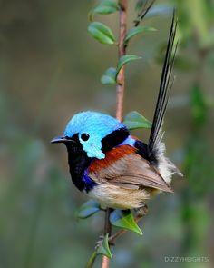 Variegated Fairy-wren by Dizzyheights, cool little bird, tiny bird, reminds me of a hummingbird (I love these little birds! Kinds Of Birds, All Birds, Cute Birds, Pretty Birds, Little Birds, Beautiful Birds, Animals Beautiful, Cute Animals, Angry Birds