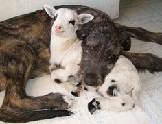 Got my goat!  #funnyanimals #dogs #goat