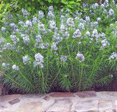 "Amsonia hubrichtii - Arkansas Blue Star (24-36"" x 24-36"") zones 5-8, full sun to part shade"