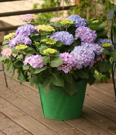 Let's Dance Rhythmic Blue hydrangea will only mature to a height of 2 to 3 feet, so is an easy choice for a container on your deck. Hardy to zone 5. Winter Flowers, Fresh Flowers, Spring Flowers, Beautiful Flowers, Hydrangea Macrophylla, Blue Hydrangea, Hydrangeas, Spring Flower Bouquet, Diy Garden Projects