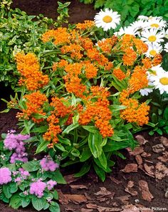 Butterfly Weed 'Orange' Asclepias tuberosa Full sun perennial.  Tolerates high heat, grows well from seed. Blooms June and attracts Monarchs.