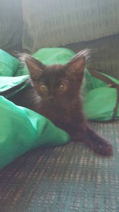 Smidgen is a cute little guy who is ready to start looking for his furever home! #rescue #adoptdontshop #kittenswag