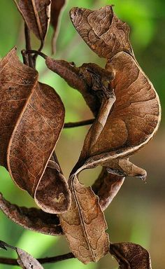 Leaf-Tailed Gecko (Uroplatus phantasticus) also known as a Satanic Leaf-Tailed Gecko, Andasibe-Mantadia National Park, Madagascar by Thomas Marent Reptiles Et Amphibiens, Cute Reptiles, Mammals, Unusual Animals, Rare Animals, Animals And Pets, Wildlife Photography, Animal Photography, Beautiful Creatures