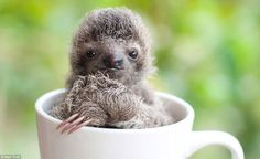 Some of their babies are smaller than the size of a human hand, with one image showing a cheeky sloth snuggled up in a mug