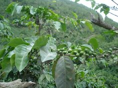 Coffee bean plant! You can find these along side the road
