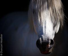Camargue Horse, France, Montcuq
