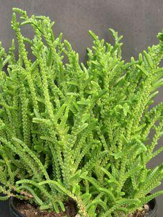 Crassula muscosa - Watch Chain, Princess Pine