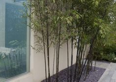 Black bamboo (Phyllostachys nigra) :: running form so must be contained in planter
