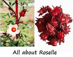 Roselle nutrition, proven health benefits and recipes