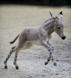 Zebra/ Donkey hybrid ohmygosh I think this is the most darling thing ever to be seen