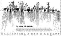 Illustration by Heidi Natura, 1995, of Living Habitats . 80% of a prairie's biomass is below ground, which is a part of the reason why prairies are the greatest soil carbon factories in the world . Those roots break up compacted soil, and as a portion of those roots die each year, they add organic matter and decompose into carbon, further enriching the soil; all of this is done without deadly pesticides or equally deadly petrochemical fertilizers .