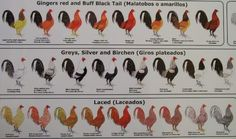 Chicken color chart roosters from Ultimate Fowl Forum reds silvers grays birchens laced
