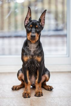 Wilson German Pinscher puppy with cropped ears