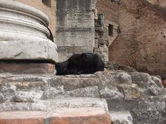 A cat found asleep at the Colosseum in Rome.