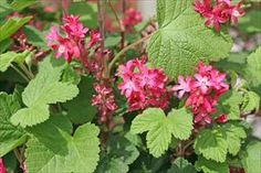 Red Flowering Currant - Ribes sanguineum.  Seems like a good fit for a privacy screen by the porch?