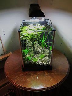 Andrew's tank - planted spec 2 tank - boraras maculatus & wild tigers arrived :D - Page 3 Betta Aquarium, Nano Aquarium, Nature Aquarium, Home Aquarium, Aquarium Design, Planted Aquarium, Aquarium Landscape, Aquarium Ideas, Aquascaping